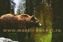 Duhul Ursului Brun din Bucegi